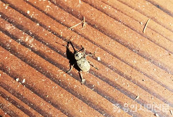 도토리거위벌레 성충
