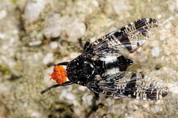 날개알락파리