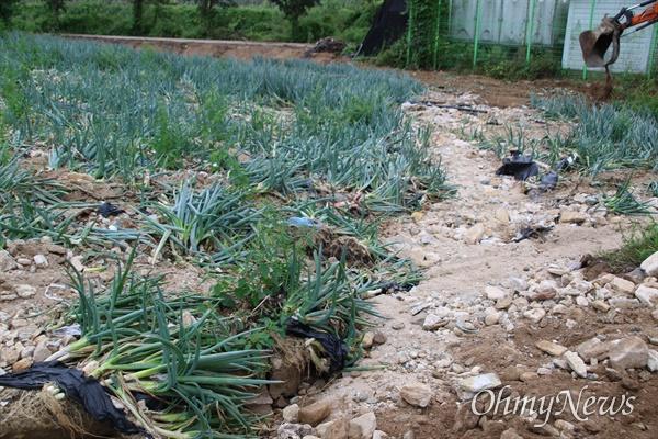 지난달 24일 태풍 '오마이스'의 영향으로 집중호우가 내리면서 경북 포항시 죽장면의 한 파밭에 파가 뽑히거나 쓰러졌다.