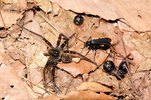 왕무늬대모벌, 먹닷거미