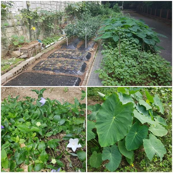 아파트 축대를 따라 다양한 채소를 가꾸고 있는 도시 농부들(위), 길가 작은 공터에도 도라지와 토란을 심었다(아래).