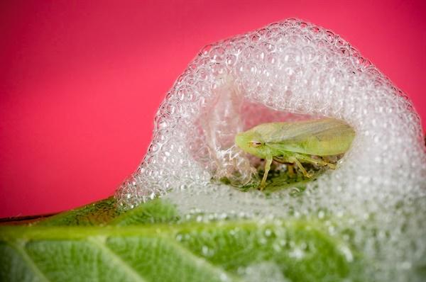 노랑거품벌레, Spittlebug, frog hopper
