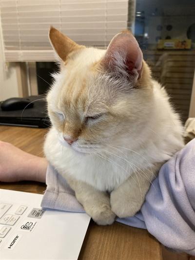 노트북을 하는 집사 팔 위에 눕고 싶어하는 고양이 달이. 유기묘 출신이다.