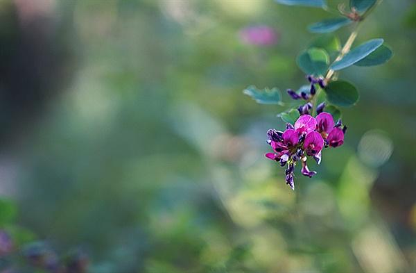 싸리나무꽃