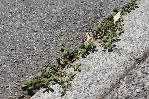 집 앞 입구는 수시로 정리해도 이렇게 쇠비름이랑 잡초들이 올라온다.