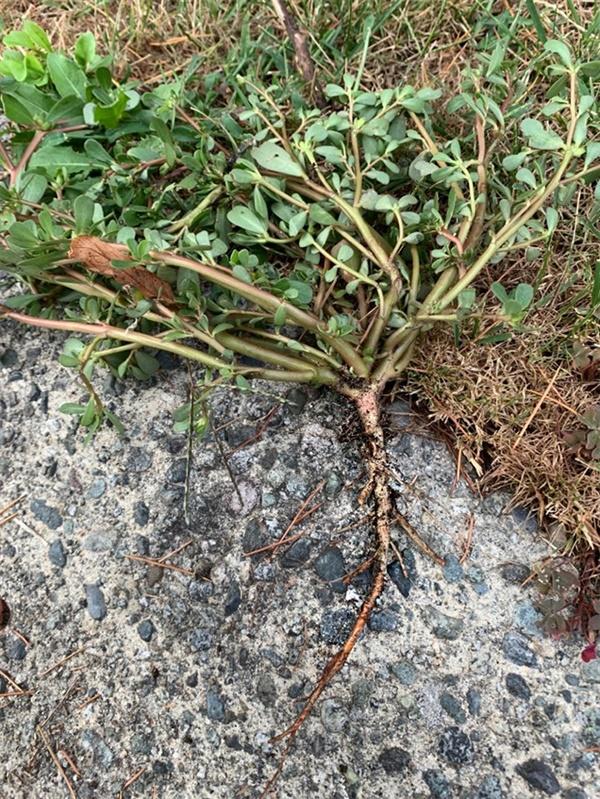 길고 튼실한 뿌리 위쪽으로 갈래가 많아서 여러개인줄 알았는데 하나였다.