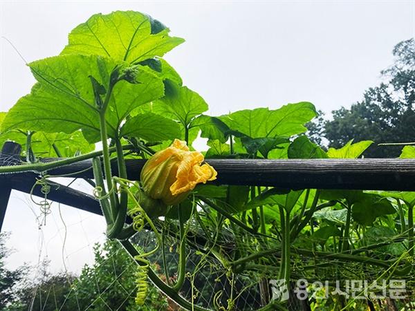 호박넝쿨과 호박꽃. 호박은 꽃 아래에 열매가 달린다.