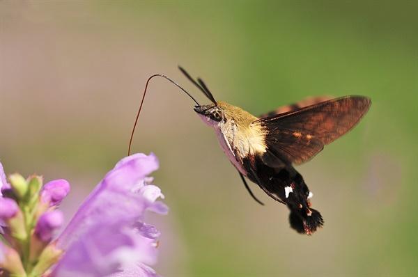 작은검은꼬리박각시, sphinx moth