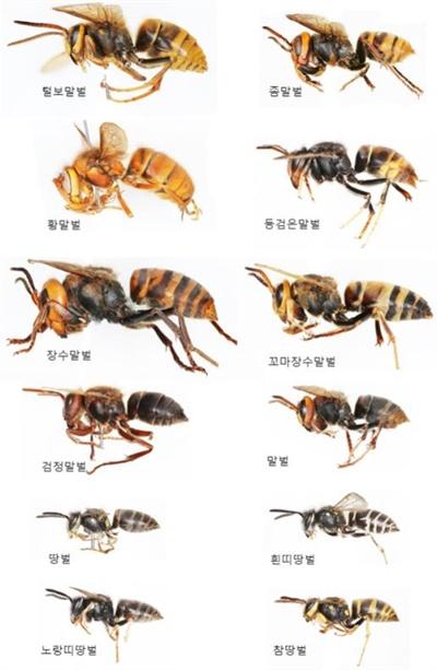 국내 주요 말벌 종류