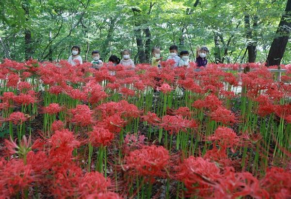 함양 상림공원의 꽃무릇.