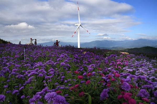 감악산 풍력단지 부근의  '아스타'꽃