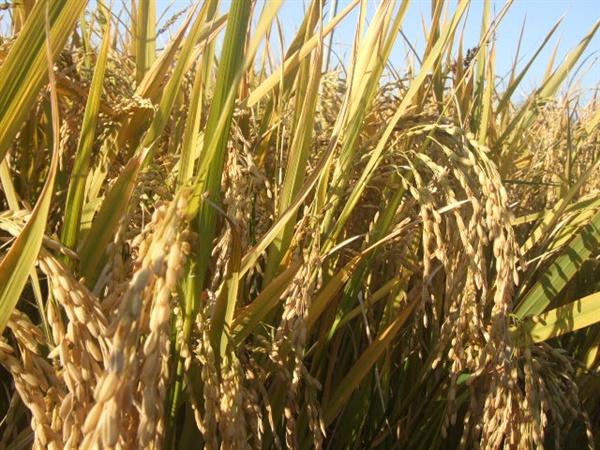 황금색으로 변한 벼 수확을 앞둔 벼들
