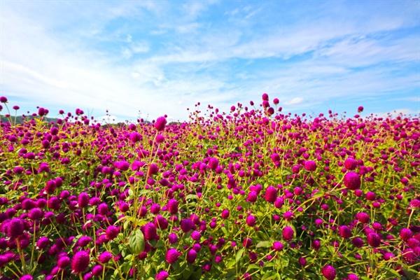 양주나리농원 천일홍축제는 이제 명실상부 경기북부 최대 꽃축제로 자리잡았다.