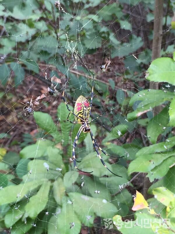 노란색과 검정색 무늬가 있는 무당거미