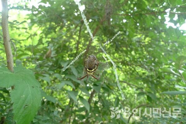 매미를 잡은 꼬마호랑거미. 무당거미와 비슷하지만 배 모양이 다르다.