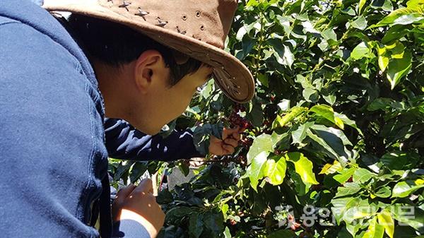 콜롬비아 커피농장에서 커피체리를 따서 품질을 확인하고 있는 김유환 대표